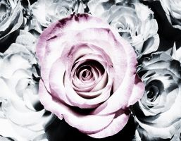 Roses by rolobio
