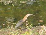Green Heron 4 by Windthin