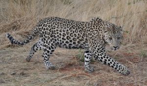 Leopard - stock by kridah-stock