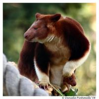 Tree Kangaroo with baby III by TVD-Photography