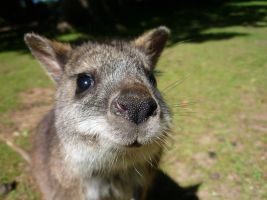 Baby Wallaby by rainbows-and-stars