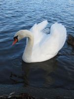 Swan_2 by Cam-s-creations