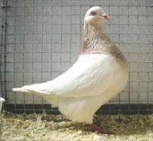 Auto-Sex Texan Pioneer Pigeon by Faunamelitensis