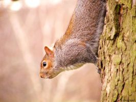 squirrel I by Lucie-Lilly