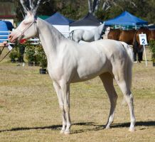 STOCK Canungra Show 2013-6 by fillyrox