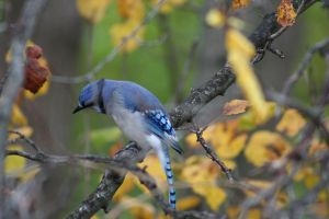 Mr. Bluejay by Dellessanna