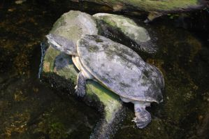 Stock 441 - Turtle by pink-stock