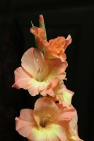 Gladiola II by J-Cartoons