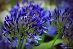 Agapanthus . by 999999999a