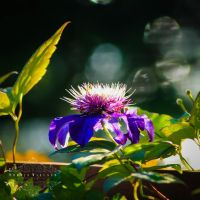 Clematis 'Multi Blue' by Sophie-Wieland