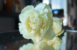 White Carnation on Mirror by DJCandiDout