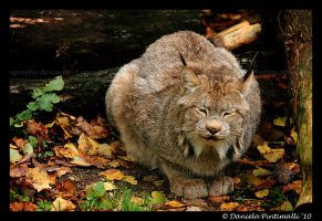 Lynx Ball by TVD-Photography