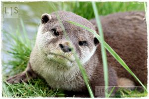 Chinese River Otter I by lucicerious