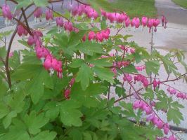 Bleeding Hearts... by RenaInnocenti