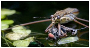 Pondskater eating 2 by EdwinBont