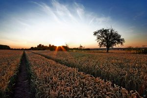 cornfield sunset wide by Lunox-baik