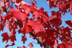 Red Leaves, blue Sky by Moonchilde-Stock