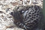 Sleeping Margay by Rathunta