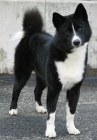 Karelian bear dog, stand by SaNNaS