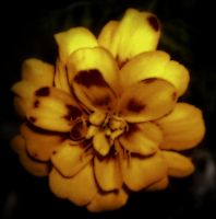Yellow Flower Lomography by Pluberus