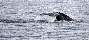 Whale Tail by firenze-design