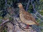 Crested Francolin by WillemSvdMerwe