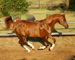 RA canter 1 leg on ground sun by Chunga-Stock