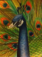 Peacock by AmyLou31