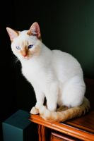Abbie Siamese Flame Point by Wakeuphatesgirl