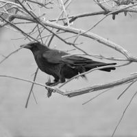 Crow 2783 by filmwaster