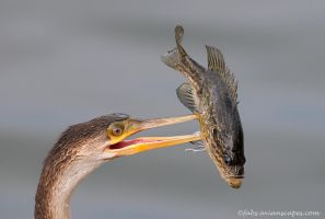 Anhinga and Catch by FForns