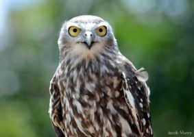 Barking Owl by Shutter-Shooter