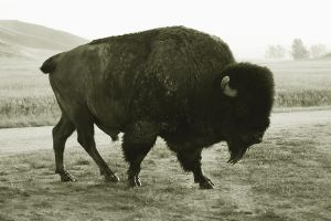 Bison by LaLonde