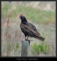 Turkey Vulture by irrational1