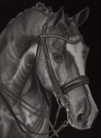 Equus Caballus (Pencil Drawing) by Paul-Shanghai