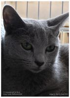 Russian blue by Pumidlo