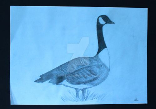 Canada Goose pencil drawing by Papelex