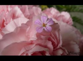 Pink on Pink by shmez3