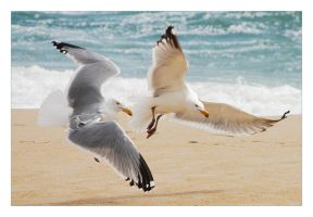 Fighting Seagulls by amhaley