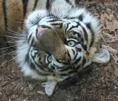Gage Park Zoo 75 - Tiger by Falln-Stock