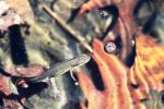 Eastern Red Spotted Newt by topshelf81