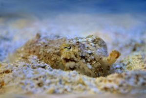 Common Cuttlefish by SarahVlad