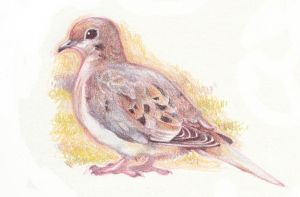 mourning dove by life-take