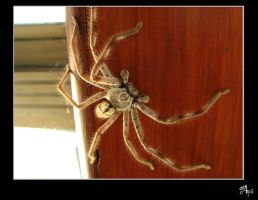 Pet Spider by Andarelle