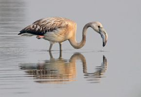 Pink underwear - Greater Flamingo - juvenile by Jamie-MacArthur