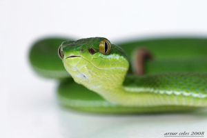 13.Green viper II by Bullter