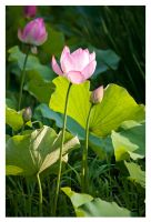 2792 - Blooming Lotus by Jay-Co