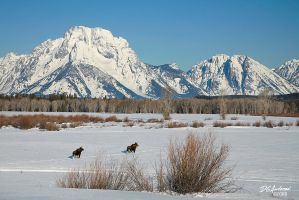 Moose in the tetons by DGAnder