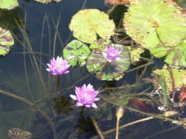 Water lilies by angel358845