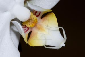 Orchid by tpphotography